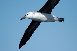 a black-browed albatross flying