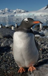 an inquisitive gentoo penguin comes for a closer look