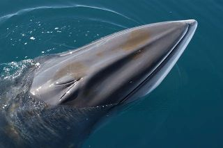 an Antarctic minke whale spyhops next to the boat