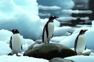 3 gentoo penguins struggle across the ice