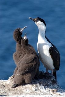Imperial Shag with two chicks