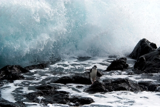 a chinstrap penguin races a breaking wave