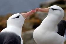 close up of two Black-browed albatross displaying
