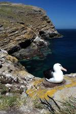 a Black-browed albatross on its nest with the spectacualr cliffs of Westpoint Island