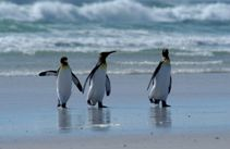 3 King penguins walking on the beach