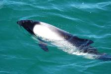 a Commersons dolphin