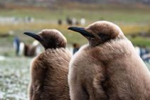 a pair of King penguin chicks