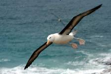 a Black-browed albatross coming in to land