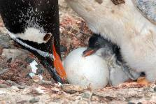 A Gentoo penguin with a new hatched chick & an egg