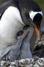 A Gentoo penguin with 2 hungry chicks
