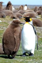 A King penguin with its chick
