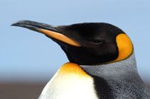 close-up of a King penguin