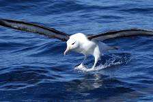 a Black-browed albatross landing on the water