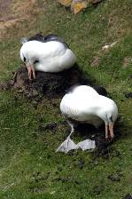 a pair of Black-browed albatross add mud to their nest
