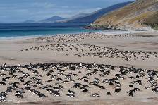 the Gentoo colony at Saunders Island