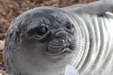 a Southern Elephant seal weanling
