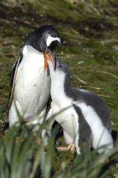 A Gentoo penguin feeding its large chick