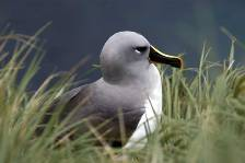 a grey-headed albatross