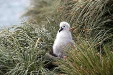 a grey-headed albatross chick waits for a feed