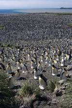 the vast colony of king penguins at Salisbury Plain