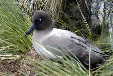 a Light-mantled sooty albatross on the nest