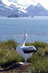 a male Wandering albatross calls to attract a female