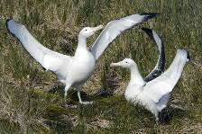 a pair of Wandering albatrosses engaged in an elegant courtship dance