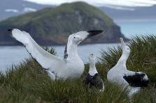 wandering albatross courtship dance