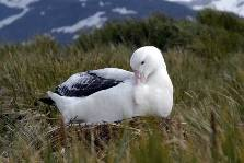 A Wandering Albatross sits on its nest