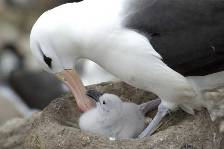 a black-browed albatross tends a new chick