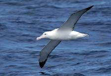 a wandering albatross skims the waves