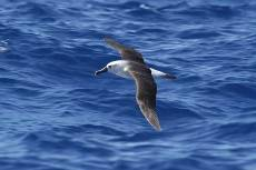 a yellow nosed albatross skims the waves