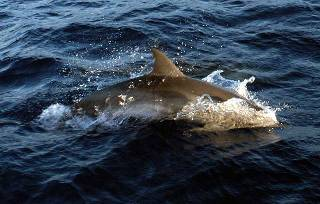 an Atlantic spotted dolphin breaks the surface