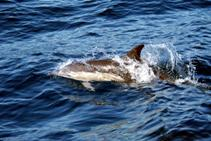 a Short beaked Common Dolphin plays off the bow