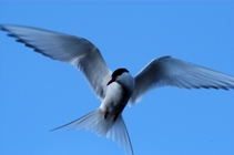 Arctic Tern on the defensive