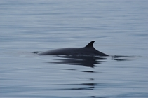 a Minke Whale shows its dorsal fin