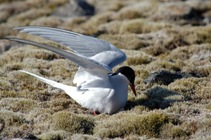 Arctic Tern settling on nest