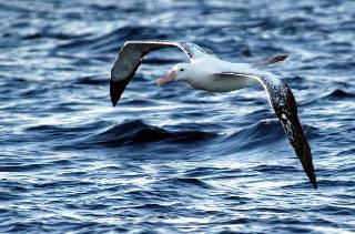 an immature Wandering Albatross soars past