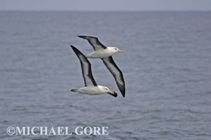2 black-browed albatrosses flying near the Falkland Islands