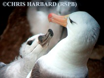 a black-browed albatross chick with parent