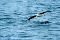 an endangered Black-browed albatross skims the waves