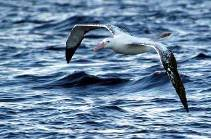 an immature Wandering albatross skims the waves